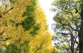姫路大手前通りの銀杏並木