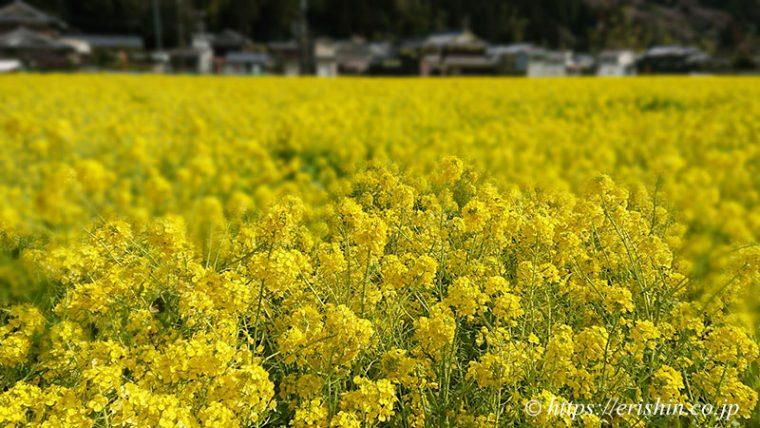 「姫路城マラソン」コース沿道の菜の花畑。