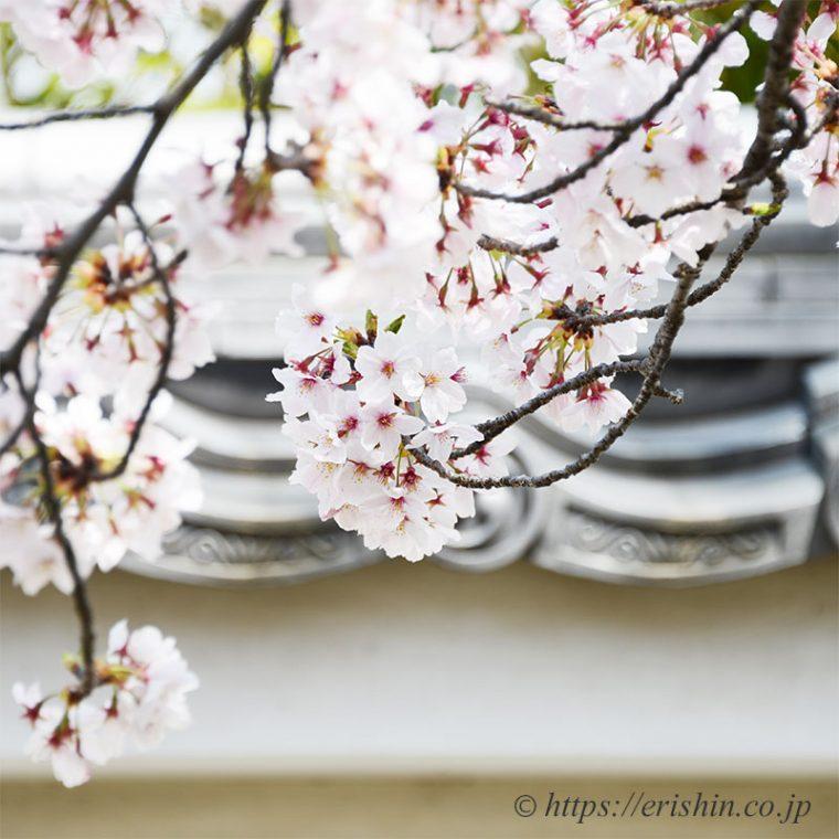好古園の塀と桜